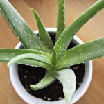 Need clean air? An aloe vera plant is better than 9 air purifiers